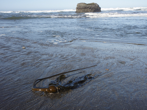 kelp-in-surf.jpg