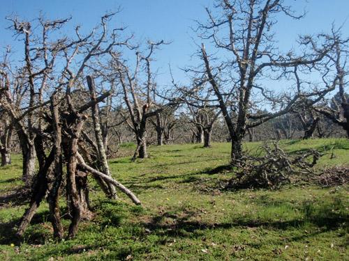 orchardprunings.jpg