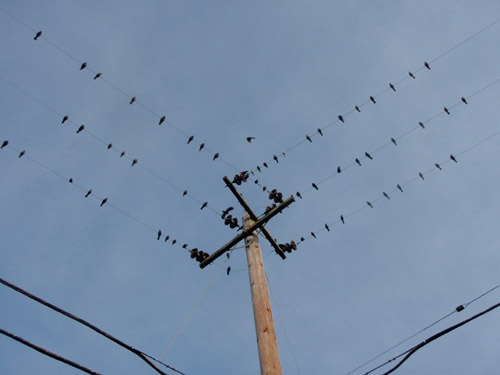 starlings1.jpg