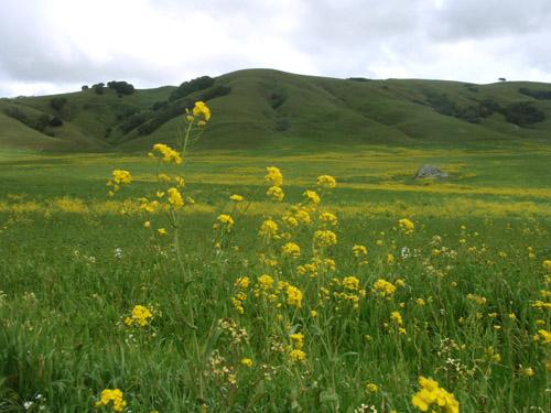 mustardmeadow.jpg