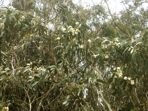 eucalyptusbloom.jpg