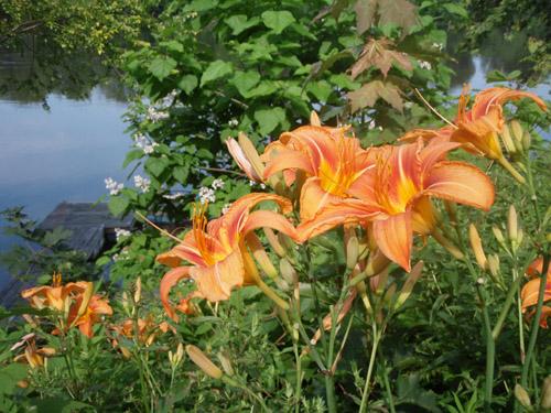 riverlillies.jpg