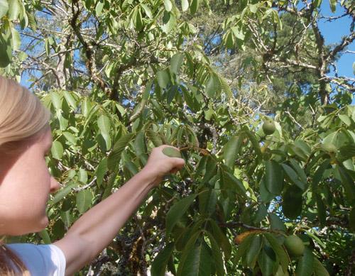 pickingwalnuts.jpg