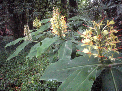 wild ginger in bloom on the edge of our redwood grove
