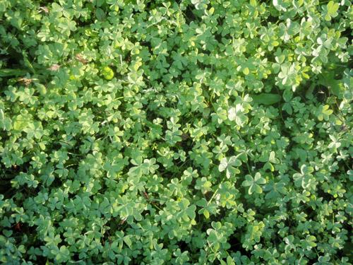 winter clover
