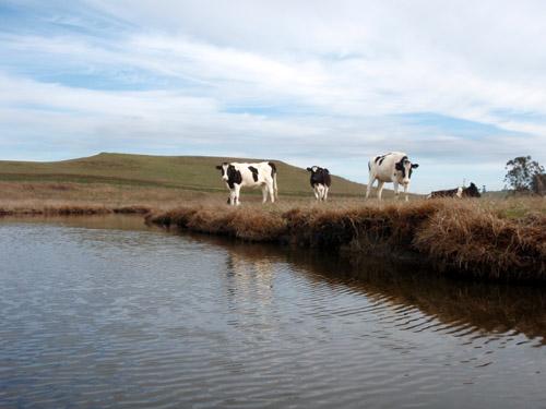 estero cows
