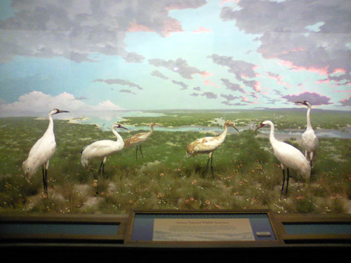denver whooping cranes