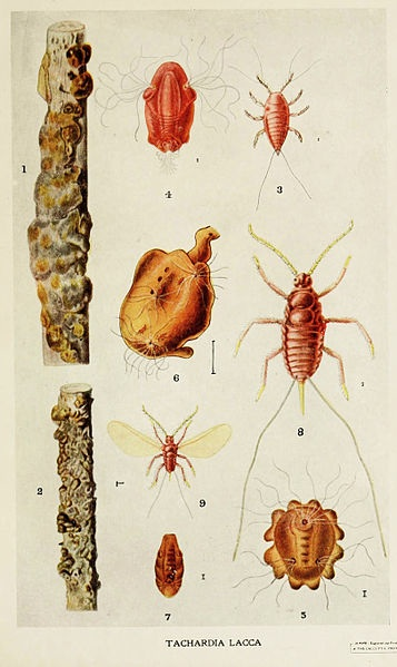 lac beetle2